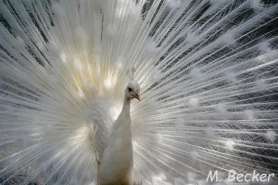 https://mb-projekt.com/2020/04/15/white-peacocks/
