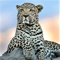Big Cats with 999 Spots